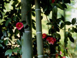 Camellia and Bamboo Photographic Print