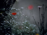 Poppy and Wild Chrysanthemums Photographic Print