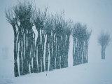Trees in Snow Photographic Print
