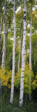 Panoramic Images - Rocky Mountain Aspen Forest - Fotografik Baskı