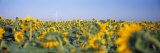 Wind Turbine in a Field of Sunflowers, Baden-Wurttemberg, Germany Photographic Print by  Panoramic Images