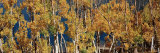 Trees in a Forest, Aspen Trees, June Lake Loop, Eastern Sierra, California, USA Photographic Print by  Panoramic Images