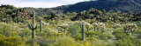 Saguaro Cactus in a Field, Sonoran Desert, Arizona, USA Photographic Print by  Panoramic Images