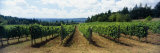 Vineyard on a Landscape, Adelsheim Vineyard, Newberg, Willamette Valley, Oregon, USA Photographic Print by  Panoramic Images