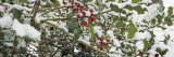 Close-Up of Holly Berries Covered with Snow on a Tree Photographic Print by  Panoramic Images