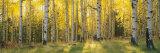 Panoramic Images - Aspen Trees in Coconino National Forest, Arizona, USA - Fotografik Baskı