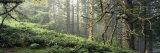 Panoramic Images - Sitka Spruce Trees in a Forest, Ecola State Park, Oregon, USA - Fotografik Baskı