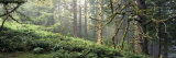 Sitka Spruce Trees in a Forest, Ecola State Park, Oregon, USA Photographic Print by  Panoramic Images