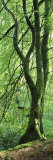 Moss Growing on a Beech Tree, Perthshire, Scotland Photographic Print by  Panoramic Images