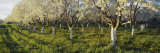 Cherry Trees in an Orchard, Leelanau Peninsula, Michigan, USA Photographic Print by  Panoramic Images