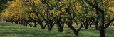 Row of Trees in Fruit Orchard, Capitol Reef National Park, Ut, USA Photographic Print by  Panoramic Images