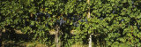 Bunch of Grapes in a Vineyard, Prosser, Yakima Valley Appellation, Washington, USA Photographic Print by  Panoramic Images