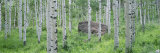 American Aspen Trees in the Forest, White River National Forest, Colorado, USA Photographic Print by  Panoramic Images
