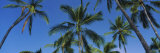 Palm Trees in Kona Coast, Big Island, Hawaii, USA Photographic Print by  Panoramic Images