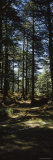 Trees in a Forest, Chail, Shimla, Himachal Pradesh, India Photographic Print by  Panoramic Images