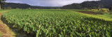 Taro Crop in a Field, Hanalei Valley, Kauai, Hawaii, USA Photographic Print by  Panoramic Images