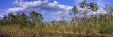 Panoramic Images - Trees in a Forest, Big Cypress Swamp National Preserve, Florida, USA - Fotografik Baskı