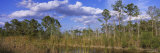 Trees in a Forest, Big Cypress Swamp National Preserve, Florida, USA Photographic Print by  Panoramic Images