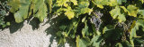 Bunch of Grapes in a Vineyard, Sao Miguel, Ponta Delgada, Azores, Portugal Photographic Print by  Panoramic Images