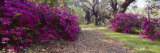 Flowers in Magnolia Plantation and Gardens, Charleston, South Carolina, USA Photographic Print by  Panoramic Images