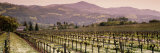 Vineyard on a Landscape, Asti, California, USA Photographic Print by  Panoramic Images