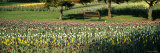 Tulips in a Field, Grand Rapids, Michigan, USA Photographic Print by  Panoramic Images