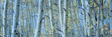 Aspen Trees in Rock Creek Lake, California, USA Photographic Print by  Panoramic Images