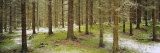 Spruce Trees in a Forest, Joutseno, Southern Finland, South Karelia, Finland Photographic Print by  Panoramic Images