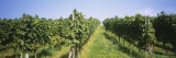 Grape Vines in a Vineyard, Freiburg, Breisgau, Baden-Wurttemberg, Germany Photographic Print by  Panoramic Images