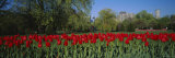 Tulips in a Garden, Boston Public Garden, Boston, Massachusetts, USA Photographic Print by  Panoramic Images