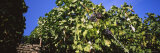 Grapes Hanging on Plants in a Vineyard, Vaihingen an Der Enz, Baden-Wurttemberg, Germany Photographic Print by  Panoramic Images