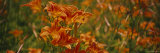 Close-Up of Day Lilies, Illinois, USA Photographic Print by  Panoramic Images