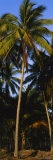 Coconut Palm Trees, Colima, Mexico Photographic Print by  Panoramic Images