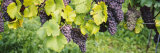 Grapes Hanging on Plants in a Vineyard, Vaihingen an Der Enz, Baden-Wurttemberg, Germany Stampa fotografica di Panoramic Images,