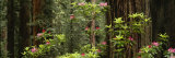 Redwood Trees with Pink Flowers in a Forest, Redwood National Park, California, USA Lámina fotográfica por Panoramic Images,
