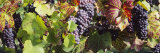 Close-Up of Red Grapes in a Vineyard, Finger Lake Region, New York, USA Lámina fotográfica por Panoramic Images,