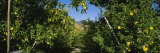 Apple Orchard, Wenatchee, Chelan County, Washington, USA Photographic Print by  Panoramic Images