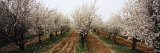 Almond Trees in an Orchard, Syria Photographic Print by  Panoramic Images