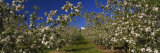 Apple Orchard in Bloom, Peshastin, Chelan County, Washington, USA Photographic Print by Panoramic Images