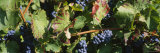 Close-Up of Red Grapes in a Vineyard, Finger Lake, New York, USA Photographic Print by Panoramic Images
