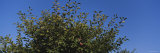 Close-Up of Plum Trees in an Orchard, Gilroy, California, USA Photographic Print by  Panoramic Images