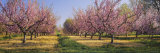Cherry Trees in an Orchard, South Haven, Michigan, USA Photographie par Panoramic Images