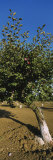 Close-Up of a Plum Tree in an Orchard, Gilroy, California, USA Photographic Print by  Panoramic Images