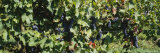 Red Grapes in a Vineyard, Finger Lake, New York, USA Photographic Print by  Panoramic Images