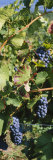 Close-Up of Red Grapes in a Vineyard, Finger Lake, New York, USA Stampa fotografica di Panoramic Images,
