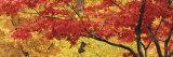 Autumnal Leaves on Maple Trees in a Forest Fotografisk trykk av Panoramic Images,