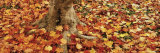 Autumnal Leaves of a Maple Tree Scattered on the Ground Photographic Print by  Panoramic Images