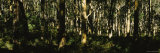 Eucalyptus Trees in a Forest, Australia Photographic Print by  Panoramic Images