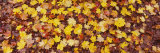 Close-Up of Fallen Leaves, Emery Park, East Aurora, Erie County, New York, USA Photographic Print by  Panoramic Images
