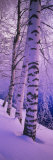Panoramic Images - Birch Trees at the Frozen Riverside, Vuoksi River, Imatra, Finland - Fotografik Baskı